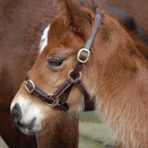 foal-latigo-leather-headcollar-001